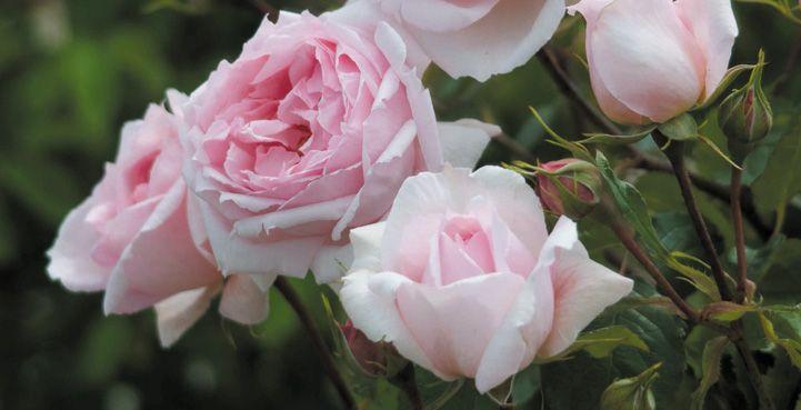 Image detail for -David Austin Roses at Syon Park