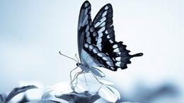 Amazing Wallpaper of Beautiful Butterflies free download at Hdwallpapersz.net