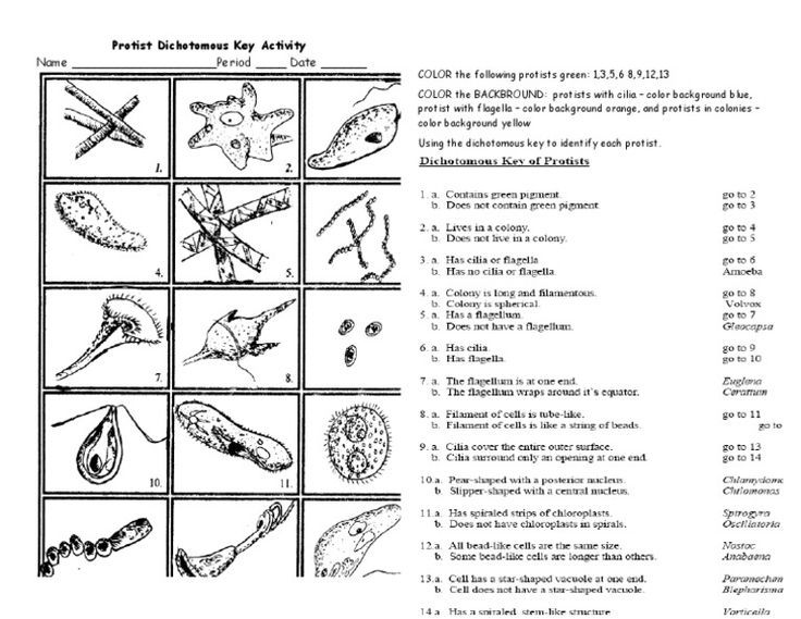 Protist Dichotomous Key Worksheet Activity Biology And Life