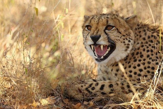 A cheetah snarls in Kruger National Park