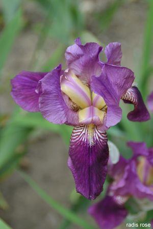 17 best id es propos de fleurs d 39 iris sur pinterest les iris belles fleurs et jardin de fleurs. Black Bedroom Furniture Sets. Home Design Ideas