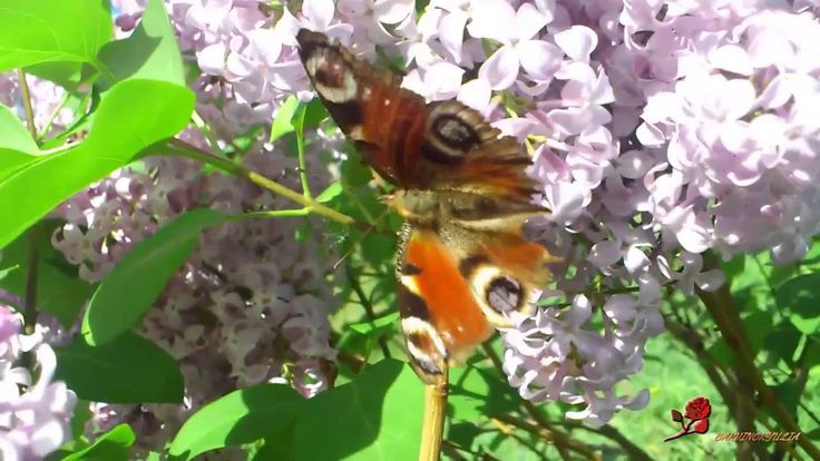 Сирень цветет. Lilacs bloom