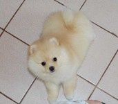 lovely male and female Pomeranian puppies for adoption.