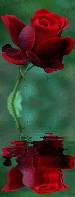 Red Rose Reflection