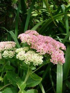 Voor veel bijen en vlinders een favoriet: hemelsleutel. Check voor meer foto's ivyandlily.nl