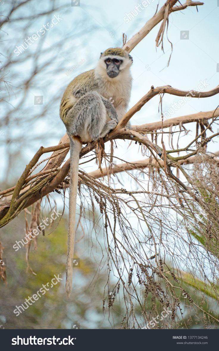 Monkey In Wildlife Ad Spon Monkey Wildlife In 2020 Wildlife Photo Editing Stock Photos