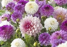 Dahlia Flower Bulbs For Sale | Buy in Bulk or by the Packet