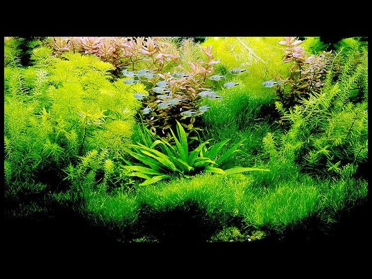 acuarios naturaleza acuario diseo acuario acuario de agua dulce pez betta paisajismo acutico peces tropicales terrarios planted aquarium