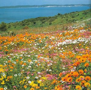 every year in the spring, the great Namaqualand desert flowers bloom in carpets of magnificent colour stretching for miles