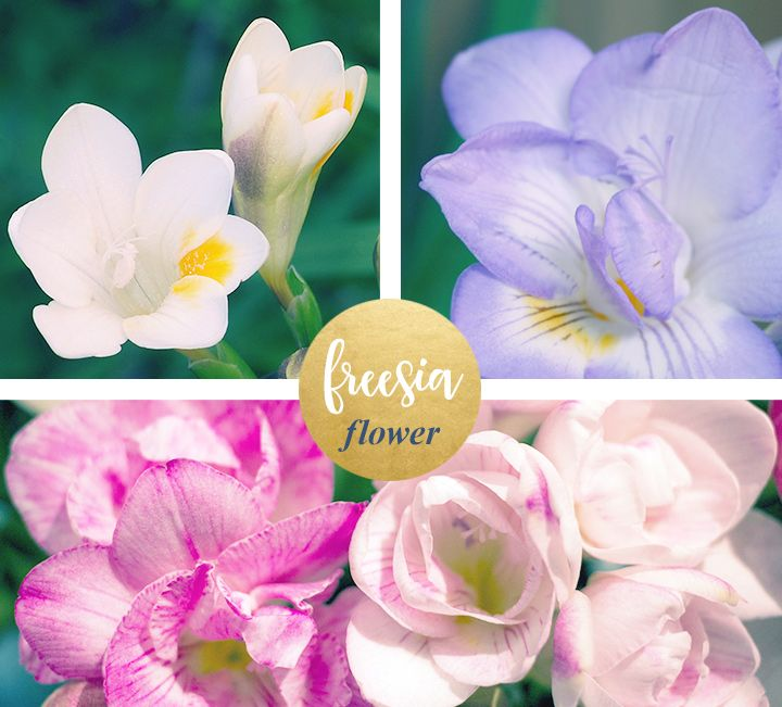 Freesia Meaning And Symbolism Flower Meanings Freesia Flowers Flowers