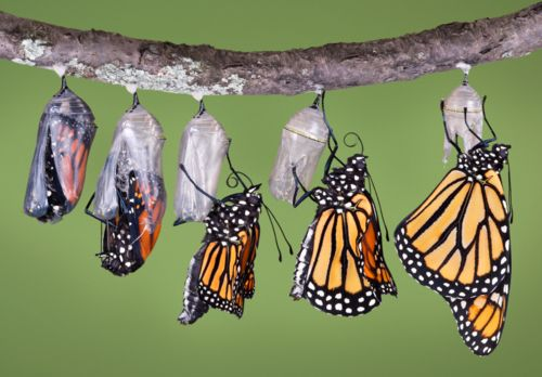 Metamorphosis of Monarch butterfly. As a kid in NZ we used to grow swan plants to watch the life cycle of these beauties.