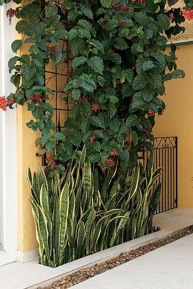A longilínea espada-de-são-jorge faz o acabamento desta parede em que o clerodendro é tutorado por uma treliça de ferro. A espécie, com manchas laterais amarelas, foi plantada aproveitando o recorte do piso