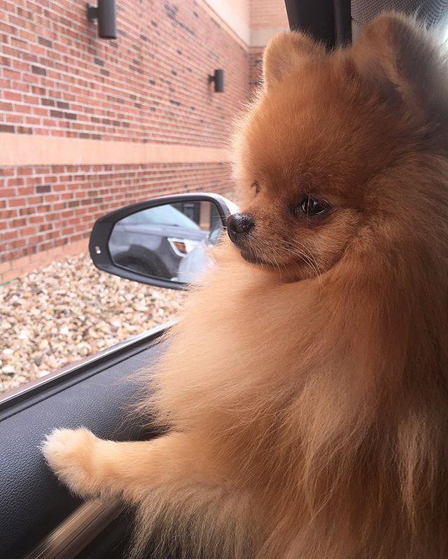Off To The Mall Pom Pomeranian Kansascity Pomeranian Puppy
