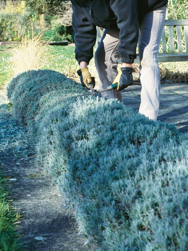 Prune Into Shape  To keep your lavender plants young, bushy and healthy, cut them back in late winter or early spring. Clean your tools thoroughly and spray them with a household disinfectant before you begin work. Then, using sharp shears, cut the stems back as close as possible to the old wood.