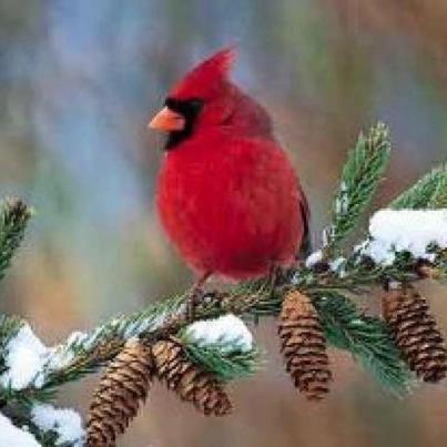 Indiana State Bird   The Cardinal