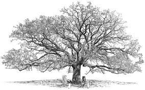 oak tree drawing - Google Search