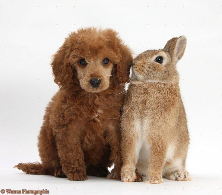 photographs of miniture poodles | Miniature Poodle pup and Netherland dwarf rabbit photo - WP29012