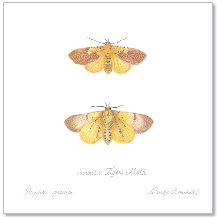 Psephea speciosa - Snouted Tiger Moth by Wendy Burchell Coloured pencil H210mm x W297mm 2250 © Wendy Burchell