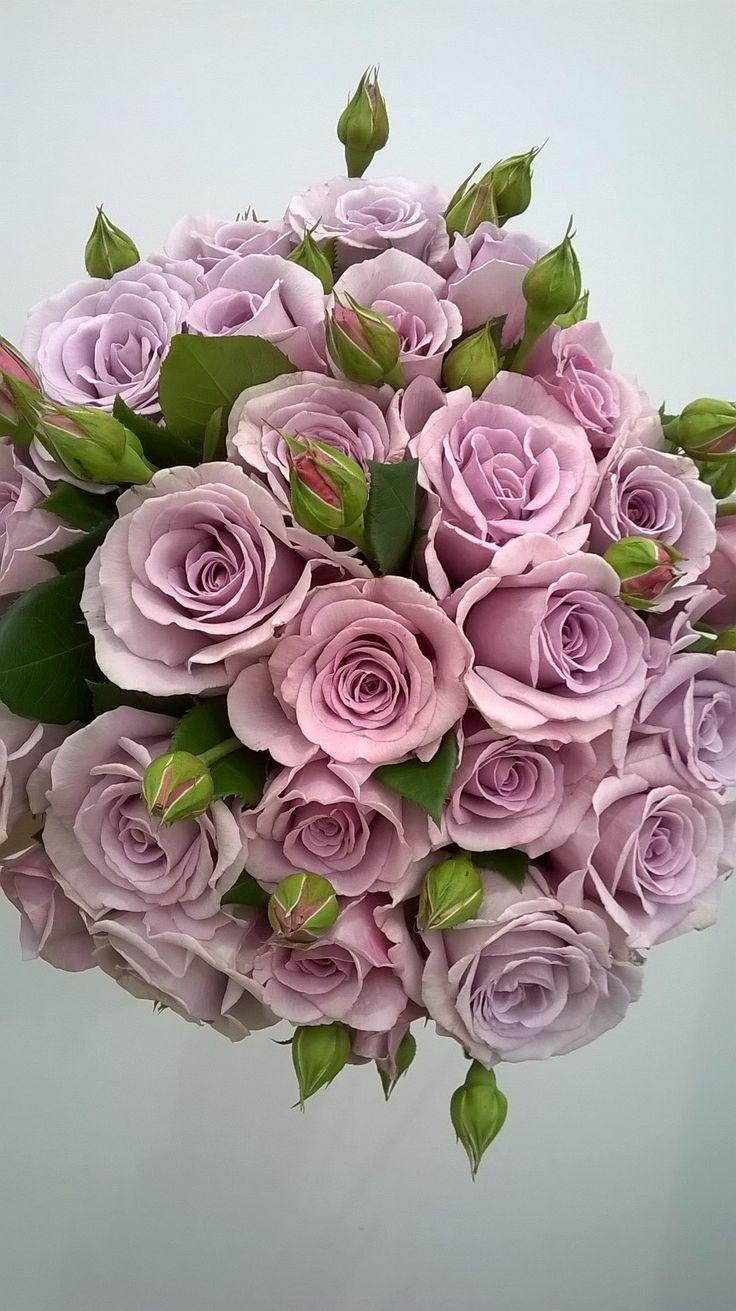 Blue Diamond Rose aka. Hi Ho Silver