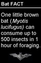 Bat Fact-One little brown bat (Myotis lucifugus) can consume up to 500 insects in one hour.