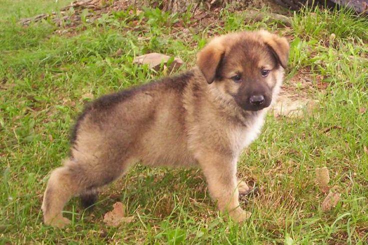 German Shepherd Puppy .