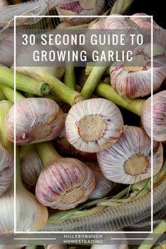 Quick and dirty, 30 second guide to growing garlic. Everything you need to know to get started growing this cash crop!