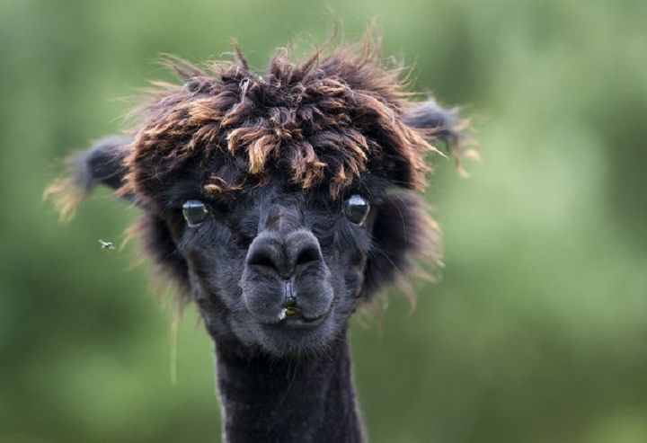 shaven llama Funny alpaca  Have You Seen a Shaved Alpaca? 7 pictures to make you laugh