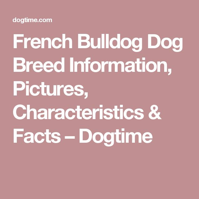 French Bulldog Dog Breed Information, Pictures, Characteristics & Facts – Dogtime
