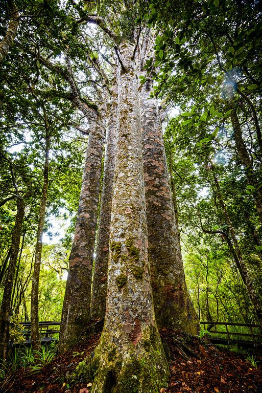 """The four sisters"", as the Maori call this group of old Kauri trees in Waipoua forest, New Zealand"