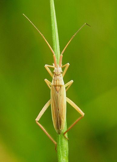 Grass Bug (Stenodema laevigatum)