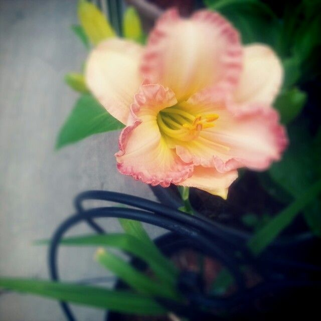 Daylily Wild and Wonderful, first bloom this year