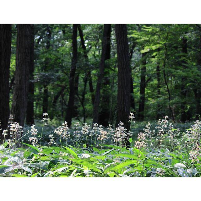 【m.a_av】さんのInstagramの写真をピンしています。《#ヤブミョウガ#群生#白い花#黒い#実#林#森#木陰#plants#wild#white #flower#black#fruit#green#forest#shades#nature#naturephotography#naturelovers#natureza#instagramjapan#igjapan#はなまっぷ#花スタクラ部#tokyocameraclub#eos》