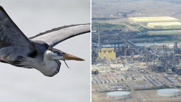 30 blue herons found dead at Syncrude Mildred Lake site