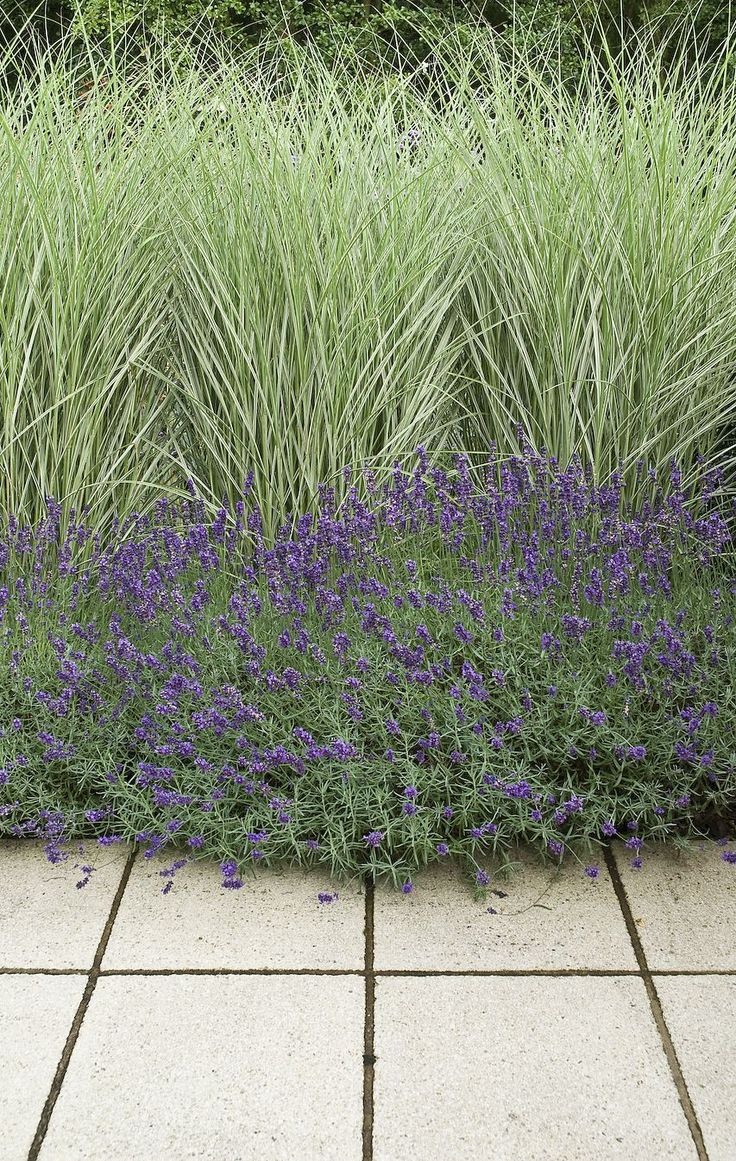 Miscanthus 'Morning Light' and lavender