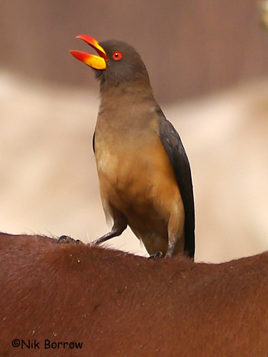 Yellow-billed Oxpecker, Cameroon: Galleries, Cameroon, Beautiful Birds, Yellow Bil Oxpeck