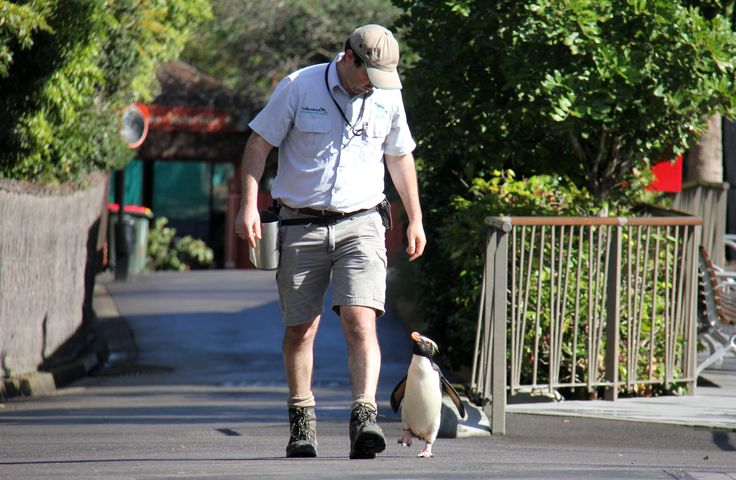Great day for a walk! Our popular Fiordland penguin, Munro, loves stepping out for a stroll through Taronga Zoo with keeper Jose.