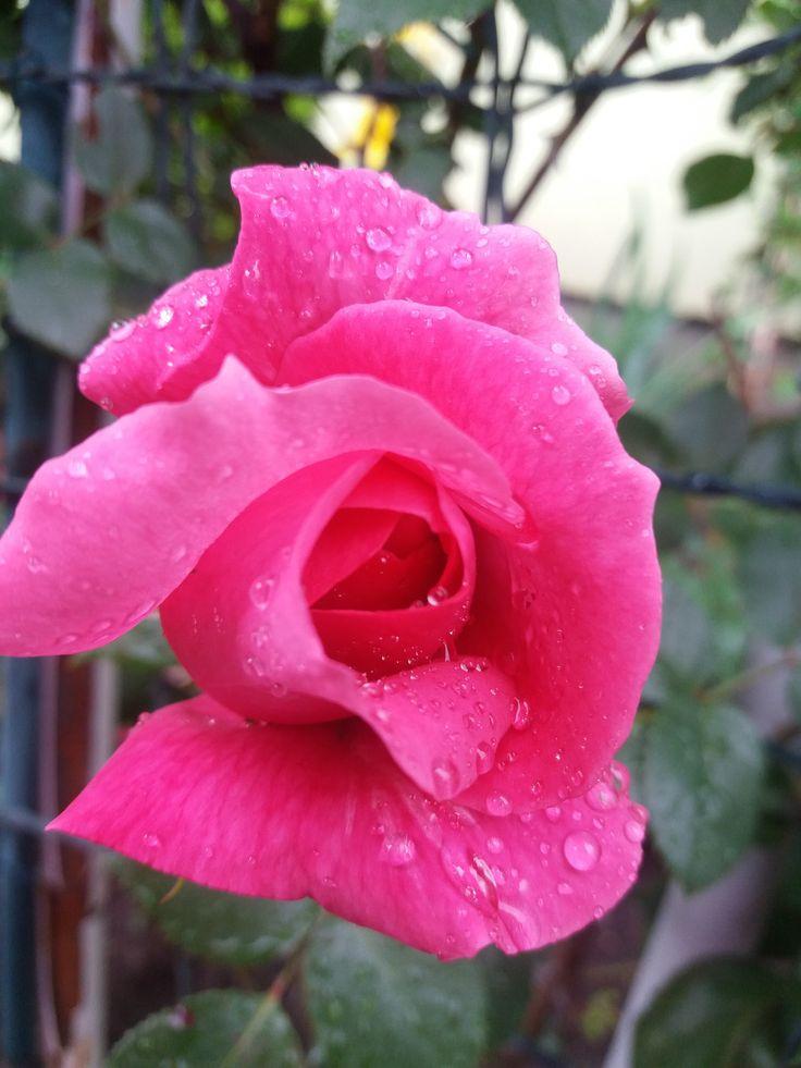 Rózsaszín rózs eső után/Pink Rose after rain