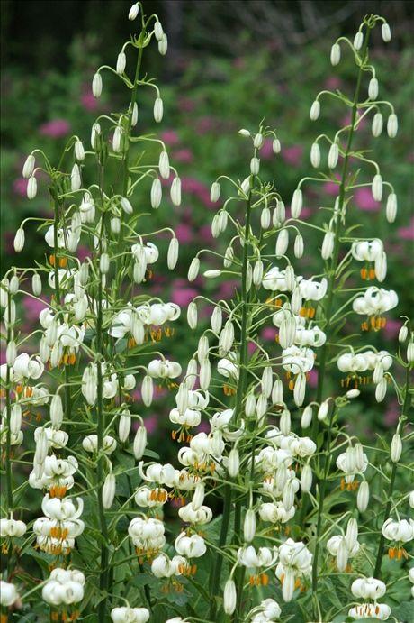 Krolliljans blommor slår ut nerifrån och uppåt.
