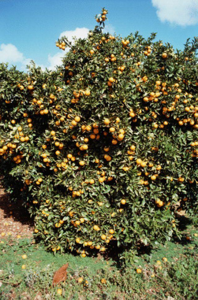Homemade Fertilizers For Citrus Trees Hunker Citrus Trees Diy Fertilizer Cucumber Plant