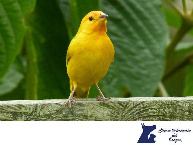 LA MEJOR VETERINARIA DE MÉXICO. Los canarios son aves muy amigables, tienen buen carácter y les gusta vivir en colonias. Son mascotas aptas para espacios pequeños y no requieren cuidados especiales. Únicamente necesitan una jaula de buen tamaño dónde puedan moverse, limpieza diaria y principalmente compañía; es recomendable tenerlos en pareja, hembra y macho para que puedan formar una familia. En Veterinaria del Bosque contamos con atención médica para diversos tipos de aves…