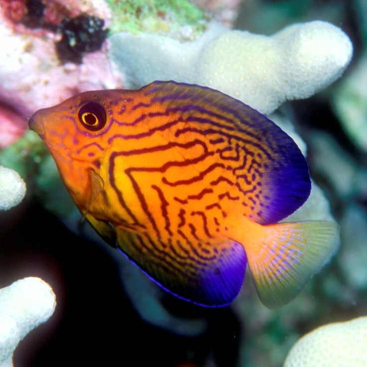 1426 best images about marine life fish gators etc for Popular saltwater fish