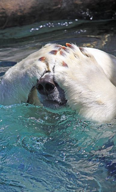 "polar bear, ""Global warming? I'm just taking my morning swim. What's with you idiots?""                                                                                                                                                      Mais"
