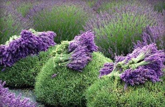 Správné ostříhání levandule vám příští rok zajistí záplavu květů