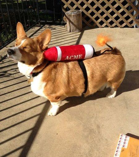 Rocket corgi