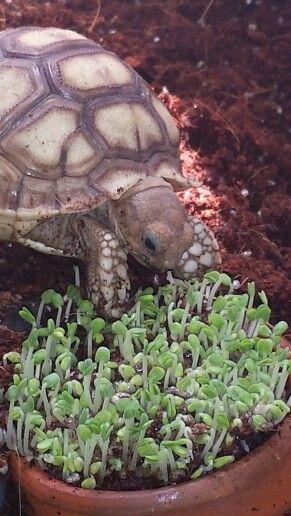 Tank the Sulcata tortoise enjoying fresh sprouted chia seed.