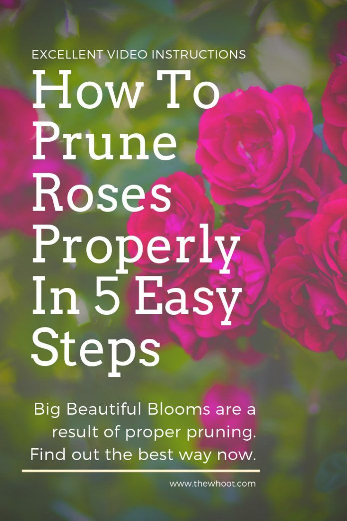 How To Prune Roses Properly Video The Whoot Prune Infographic Video Plants