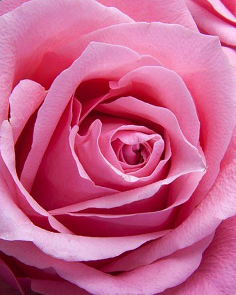 Olio di Rosa Francese - Olio Assoluto Puro al 100% - Rosa centifolia  L'#olio di #rosa è eccellente per la pelle secca e matura. Quest'olio emana un #aroma gradevole, considerato utile per #rilassare e sollevare lo spirito e la mente durante momenti di #stress, #tensione o #debolezza. L'olio di rosa è inoltre conosciuto per il suo aroma #romantico e #afrodisiaco che aiuta ad aumentare il desiderio sessuale.  Nota bene: Solo per uso esterno. Non ingerire.