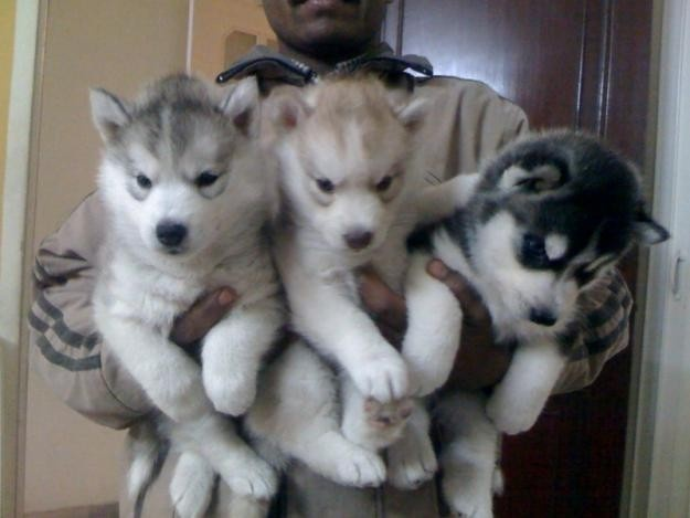 adorable siberian husky puppies - can I have all of them??