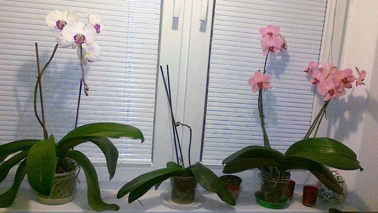 Postarajte sa o odkvitnuté orchidey tak, aby ste sa dočkali ďalších kvetov.
