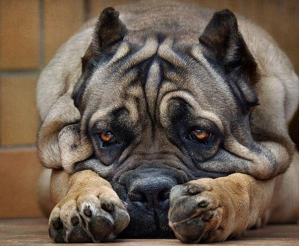 Кане-корсо | Dog Book